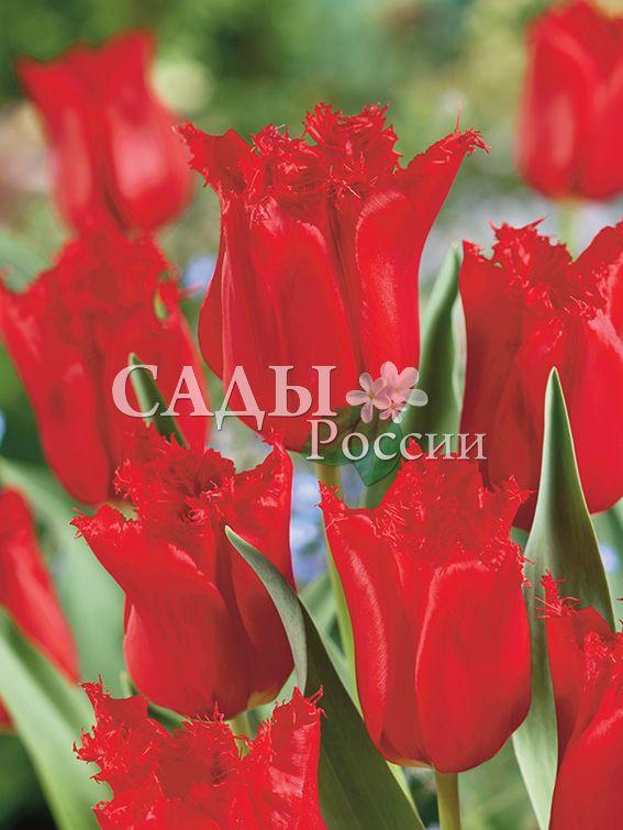 Тюльпаны Калибра