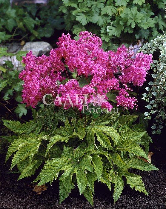 Лабазник ЭлегантныйЛабазник<br>Завораживающие изумительные<br>малиново-пурпурно-розовые оттенки соцветий в изумрудных необыкновенно красивых листьях<br>приковывают взгляд и останавливают время.<br>