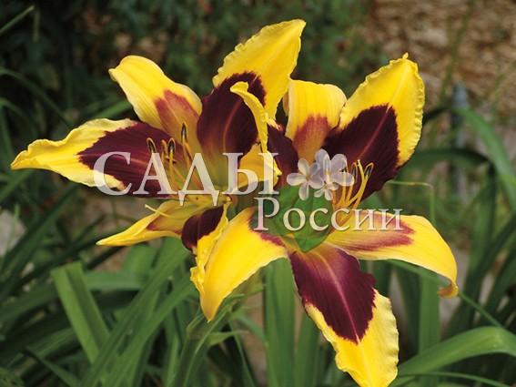 Лилейники Небо ИндииЛилейники<br>НОВИНКА!  <br><br>Сорт, цветки которого сочетают в себе необычайные закатные оттенки — от золотого по краям до бордово-сливового ближе к центру.<br>