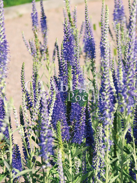 Вероника сераяВероника<br>НОВИНКА!  <br><br> <br> <br><br>Интересное растение с остроконечным и густым<br>соцветием насыщенно-синего цвета.<br>