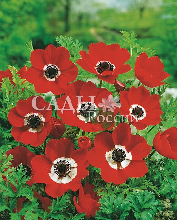 Ветреница ГолландияВетреница<br>НОВИНКА!  <br><br>Добавить ярких красок в весенний сад поможет нарядная<br>весёлая анемона с цветками насыщенно-красного цвета и<br>белым ободком вокруг чёрного центра.<br>