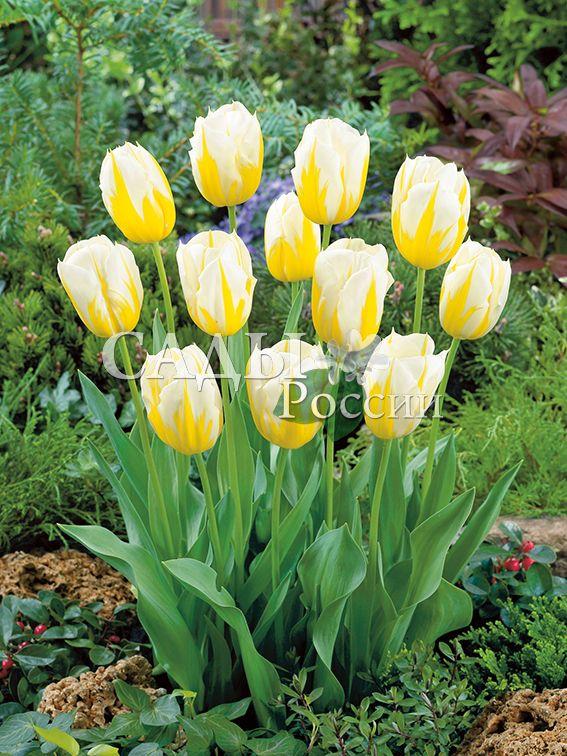 Тюльпаны КокеткаТюльпаны Ранние<br>5 шт. <br>Ранние.<br>