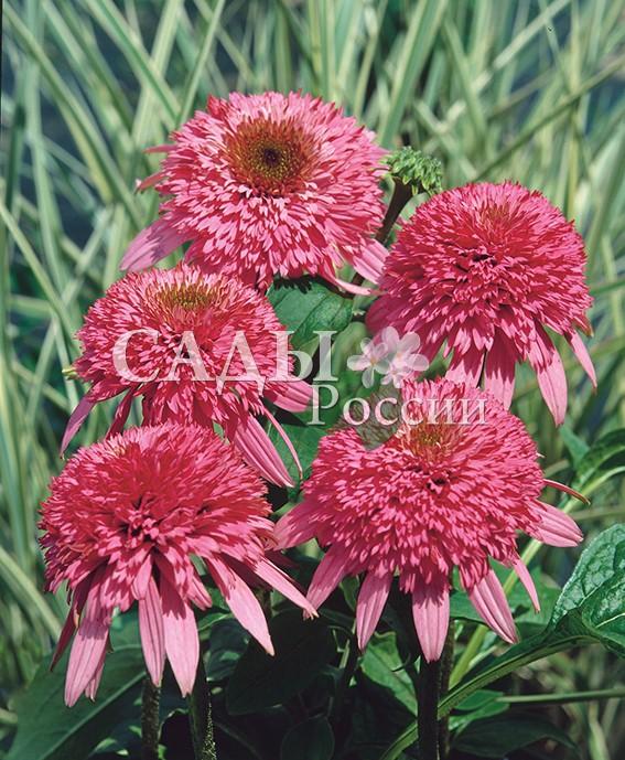Эхинацея РаззматацЭхинацея<br>НОВИНКА!  <br><br> <br><br>Удивительный цветок у этой эхинацеи — густомахровый, глубокого розового с оттенком малинового<br>цвета.<br>