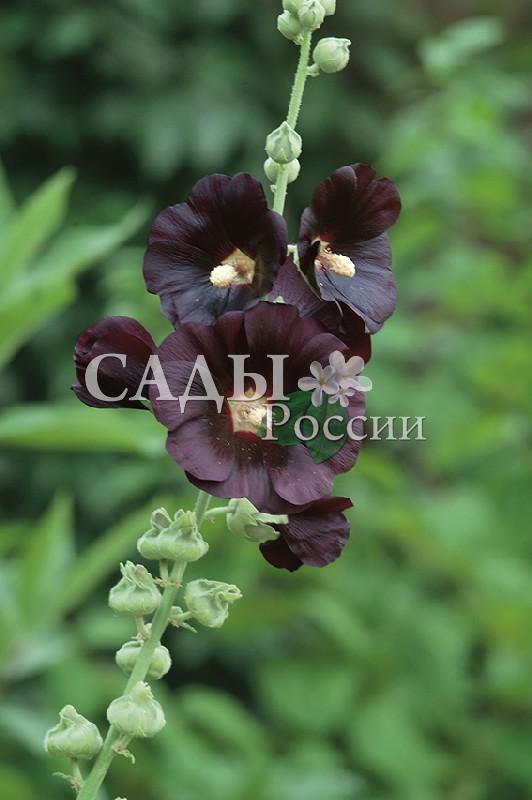Шток-роза МулаткаШток-роза<br>НОВИНКА!  <br><br>Шикарная красотка! Атласные, блестящие лепестки такого глубокого фиолетового цвета, что кажутся<br>почти чёрными.<br>