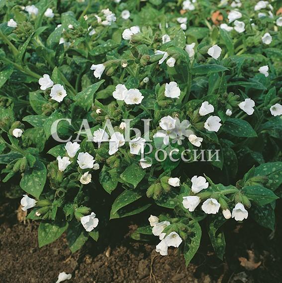 Медуница Английская белаяМедуница<br>НОВИНКА!  <br><br>Редкая гостья в наших садах, а ведь на неё стоит<br>обратить внимание! Незаменима для тенистых участков, где не могут расти другие цветы.<br>