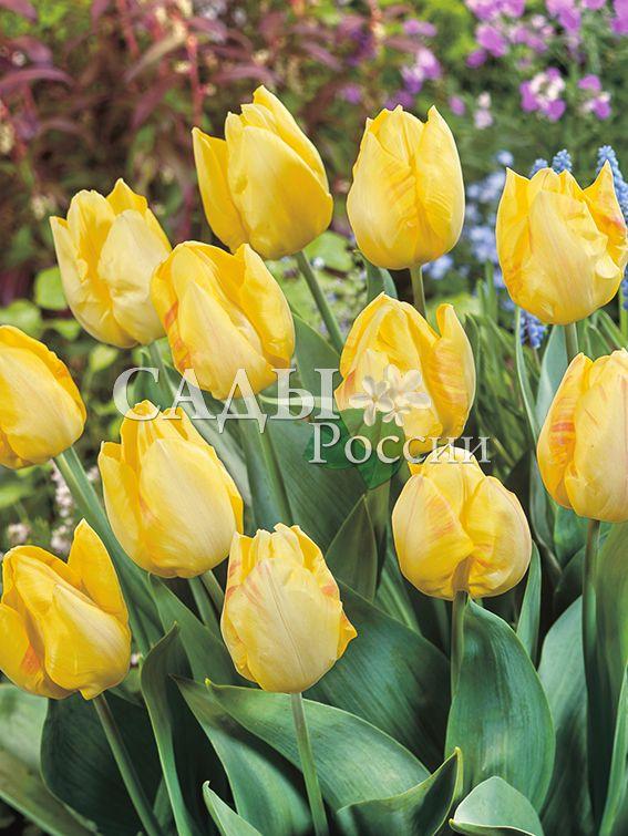 Тюльпаны Солнечный принцТюльпаны Триумф<br>5 шт. .  <br>Триумф.<br>
