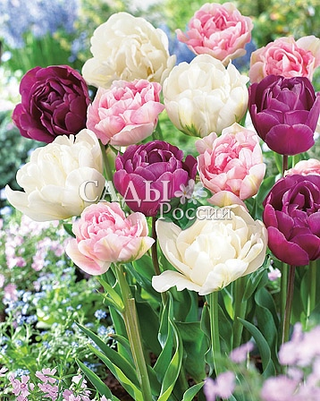Набор: Тюльпаны Анжелика, Маунт Такома, Королевские ВладенияТюльпаны Махровые поздние<br>12 шт. (4+4+4)  <br>Махровые поздние.<br>