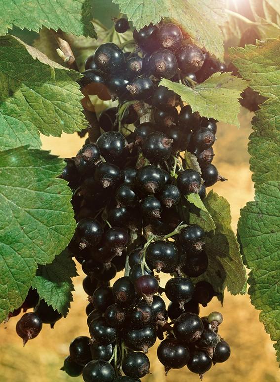 Смородина ДобрыняСмородина чёрная<br>Сорт среднего срока созревания. Кусты слаборослые, прямостоячие.<br>Ягоды очень крупные, максимальный вес — 6,5 г, слегка<br>овальные, чёрные, блестящие.<br>