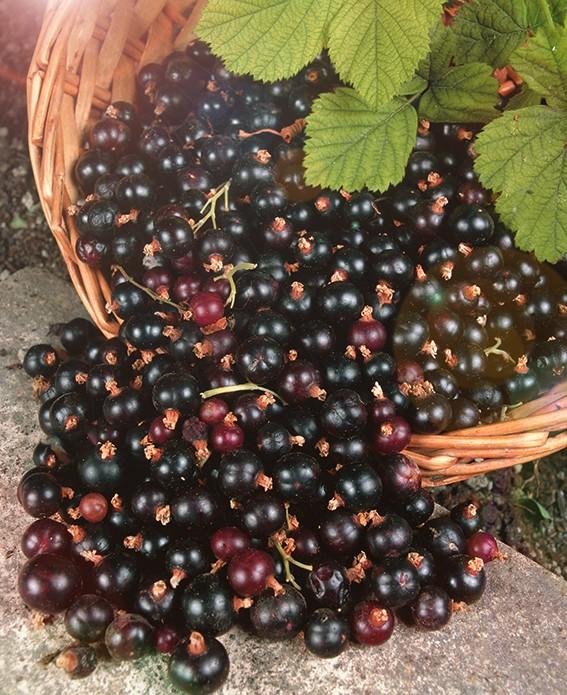 Смородина ЛентяйСмородина чёрная<br>Ягоды созревают в августе,<br>когда другой чёрной смородины уже нет.<br>