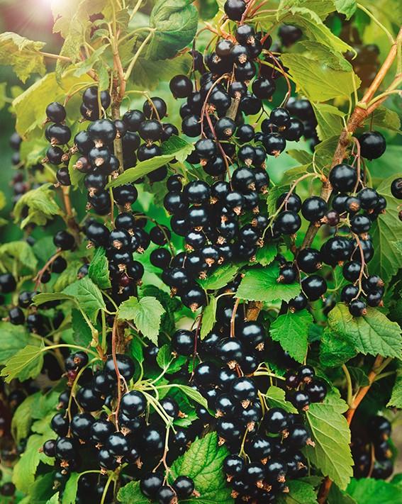 Смородина ПерунСмородина чёрная<br>Кусты этого<br>сорта невысокие, компактные. Ягоды крупные, массой<br>до 4 г, чёрные, блестящие, сухие, с прочной кожицей,<br>высокотоварные.<br>