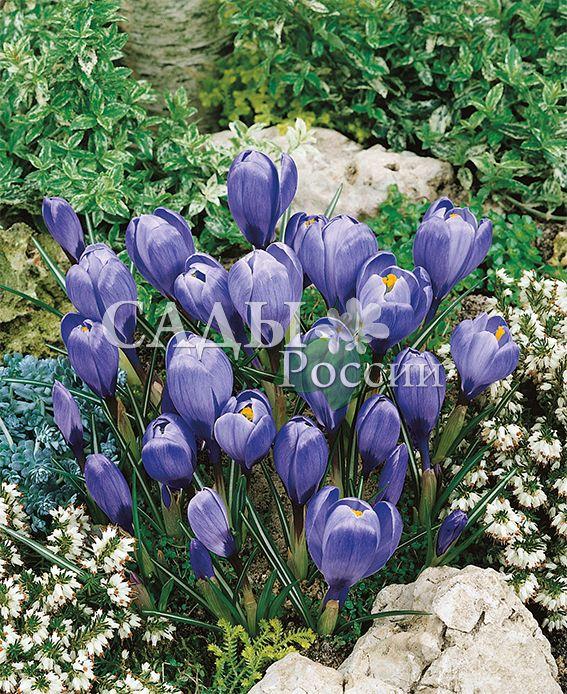 Крокусы Голубое небоЛуковичные культуры<br>15 шт.<br>