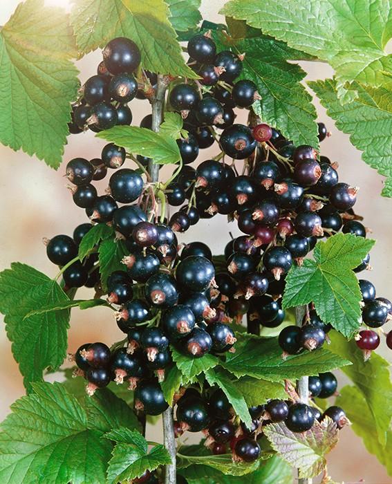 Смородина ПигмейСмородина чёрная<br>Сорт менее крупный, чем Ядрёная. Однако превосходит Ядрёную по вкусу. Вкус<br>у Пигмея сладкий десертный. Масса ягод до 7,5 г.<br>