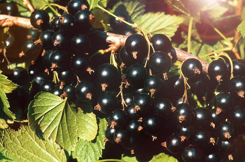 Смородина СокровищеСмородина чёрная<br>Сорт Сокровище создан<br>сравнительно недавно, гораздо позднее, чем Ядрёная. Он<br>менее крупный, ягоды до 7,5 г, но поражает фантастической<br>урожайностью.<br>