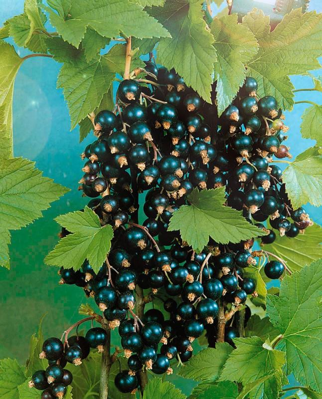 Смородина ЭкзотикаСмородина чёрная<br>Один из<br>самых крупноплодных современных сортов раннего срока<br>созревания.<br>