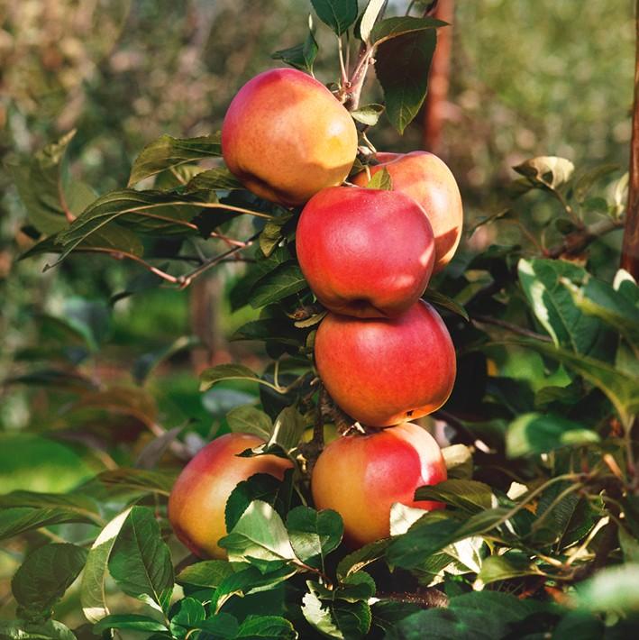 Яблоня МаринаЯблоня Осенние сорта<br>Выведен на<br>Свердловской опытной станции садоводства от скрещивания сортов Самоцвет и Нега. Дерево средней величины<br>с округлой кроной.<br>