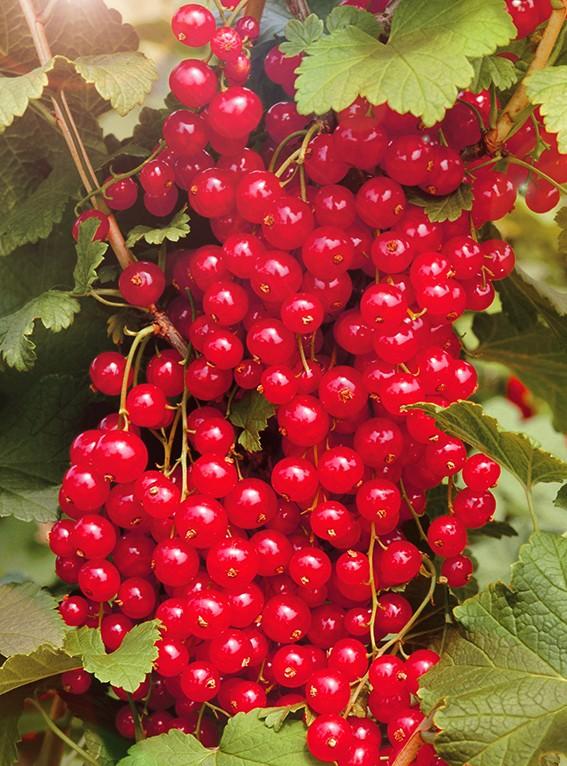 Смородина МармеладницаСмородина красная<br>Сорт очень позднего срока созревания, а ягоды держатся<br>на кустах даже после заморозков.<br>