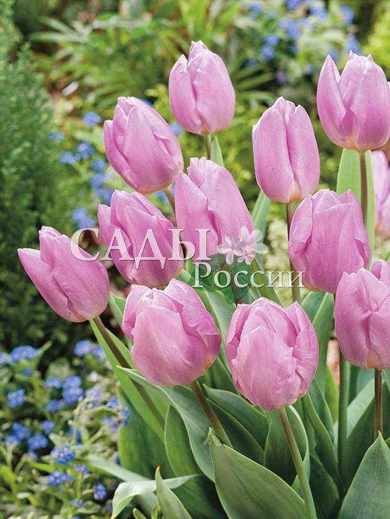 Тюльпаны Конфетный принцТюльпаны Ранние<br>5 шт. <br><br>Ранние.<br>