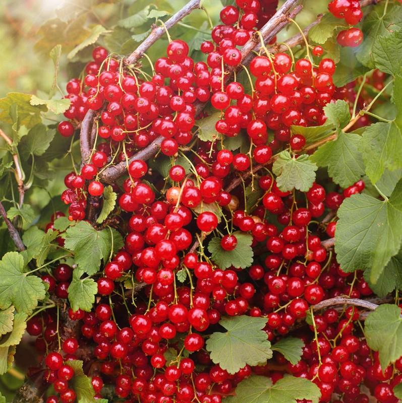 Смородина НаталиСмородина красная<br>Куст сильнорослый. Зимостойкость и урожайность очень высокие.<br>Кисть длинная — 12 см. Ягоды крупные.<br>