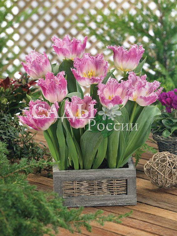 Тюльпаны ОвьедоТюльпаны Бахромчатые<br>5 шт.  <br><br>Бахромчатые.<br>