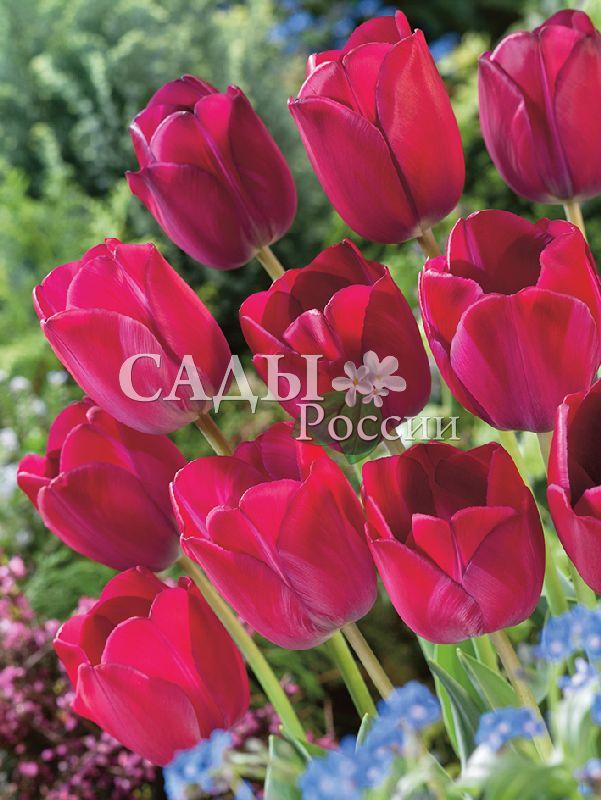 Тюльпаны Аттила ГраффитиТюльпаны Триумф<br>5 шт.  <br><br>Триумф.<br>