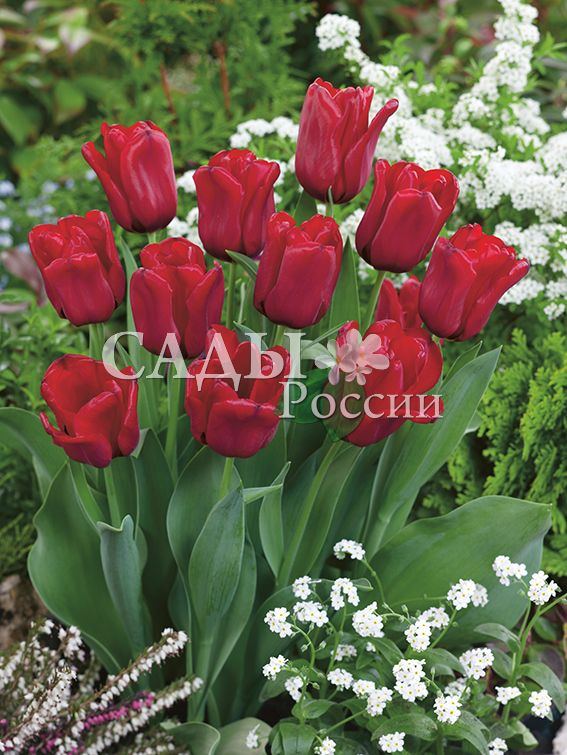 Тюльпаны ГолубчикТюльпаны Триумф<br>5 шт.   <br><br>Триумф.<br>