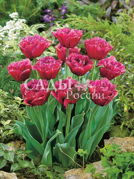 Тюльпаны МаскоттТюльпаны Бахромчатые<br>5 шт.  <br><br>Бахромчатые.<br>