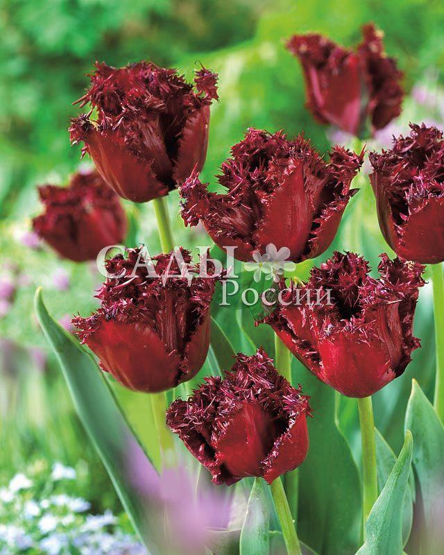 Тюльпаны ЛабрадорТюльпаны Бахромчатые<br>5 шт.  <br><br>Бахромчатые.<br>