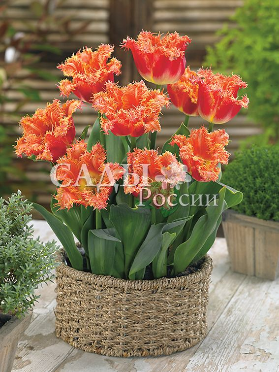 Тюльпаны ИзобретательТюльпаны Бахромчатые<br>5 шт.  <br><br>Бахромчатые.<br>
