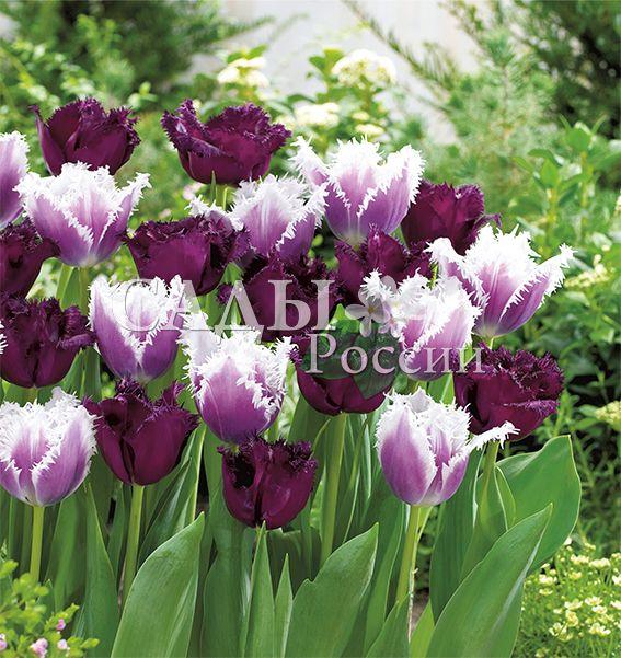 Набор: Тюльпаны Вечерний звонТюльпаны Бахромчатые<br>8 шт. (4+4 шт.)   Бахромчатые.<br>