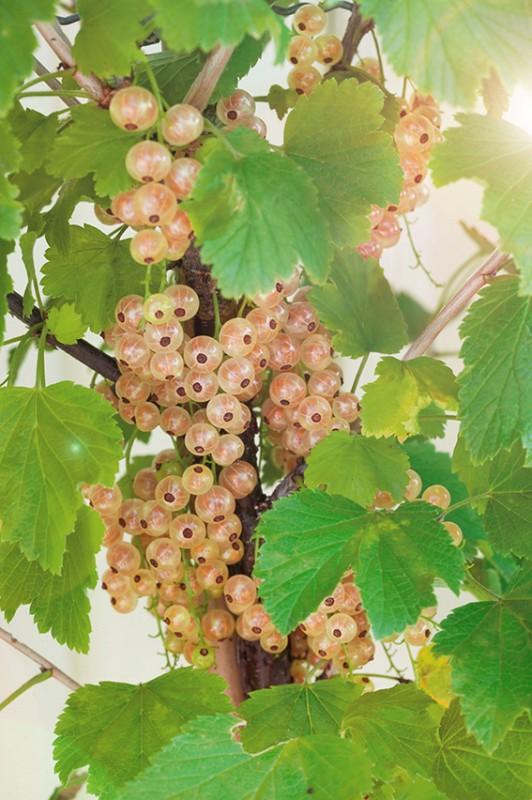Смородина СмольяниновскаяСмородина белая<br>Куст мощный, сильнорослый, зимостойкий. Плодовые кисти<br>длинные с 13—14 ягодами. Ягоды кремовые, прозрачные,<br>крупные.<br>