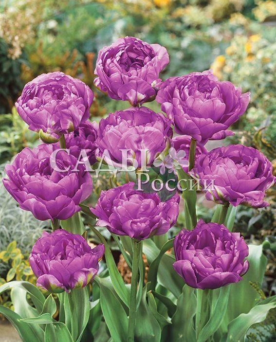 Тюльпаны Голубая сенсацияТюльпаны Махровые поздние<br>5 шт. <br> <br>Махровые поздние.<br>