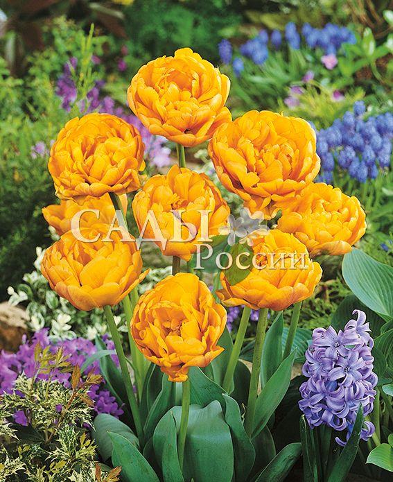 Тюльпаны Махровый АпельдорнТюльпаны Махровые поздние<br>5 шт.  <br> <br>Махровые поздние.<br>