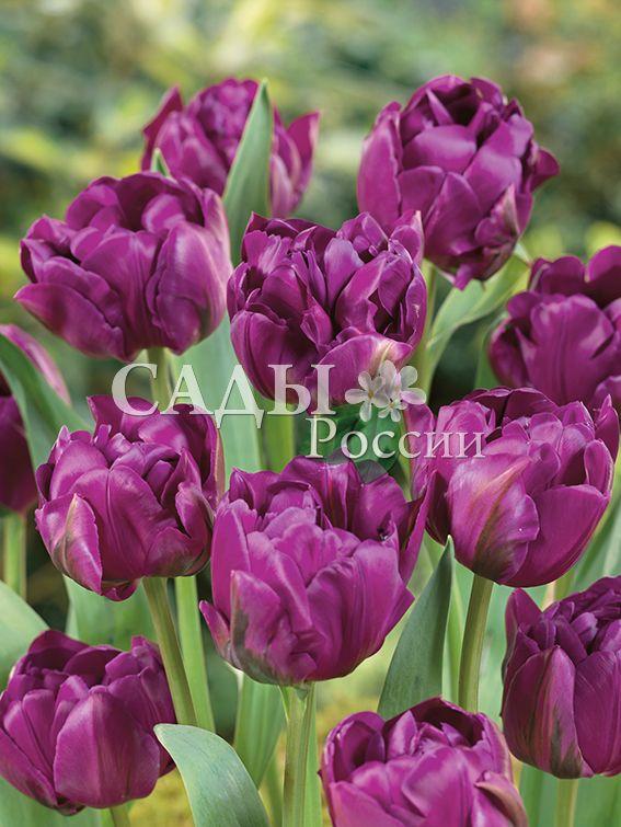 Тюльпаны НегритянкаТюльпаны Махровые ранние<br>5 шт.  <br>Махровые ранние.<br>