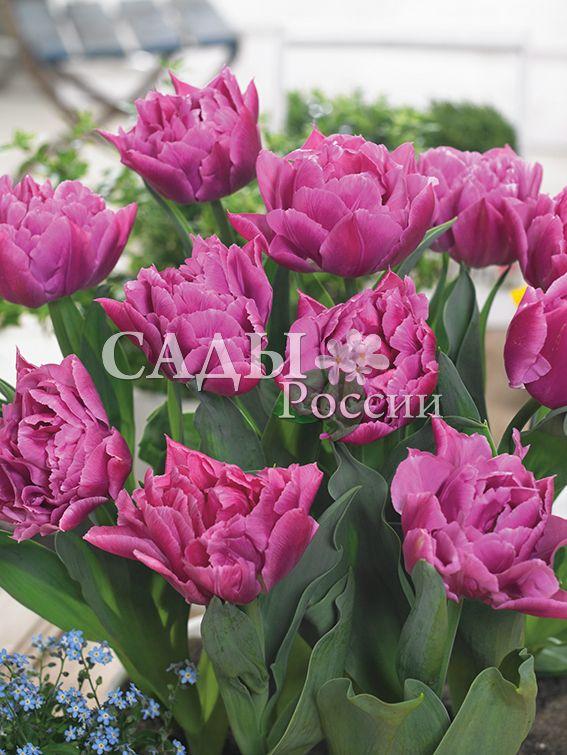 Тюльпаны Ценный кадрТюльпаны Махровые ранние<br>5 шт.  <br>Махровые ранние.<br>