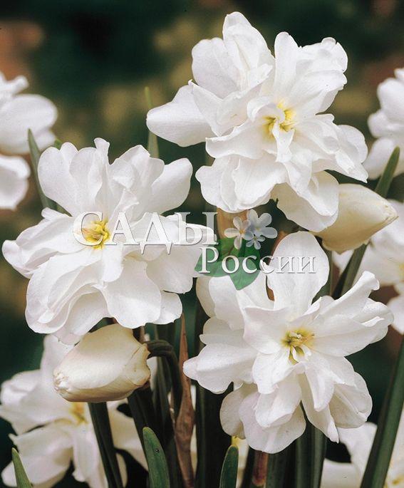 Нарциссы Альбус Пленус ОдоратусЛуковичные культуры<br>3 шт.<br>