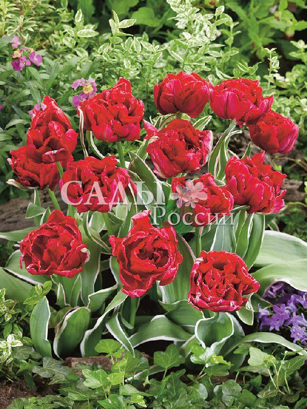 Тюльпаны Вечный огоньТюльпаны Махровые ранние<br>5 шт.  <br>Махровые ранние.<br>