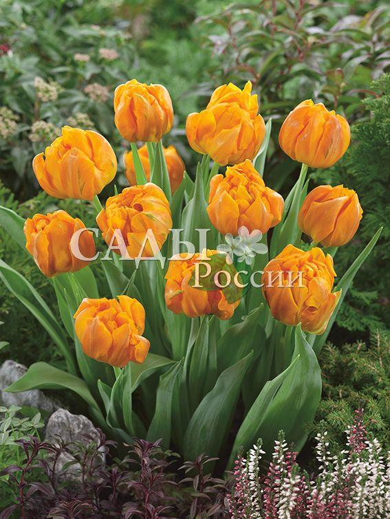 Тюльпаны КасатикТюльпаны Махровые ранние<br>5 шт.  <br>Махровые ранние.<br>