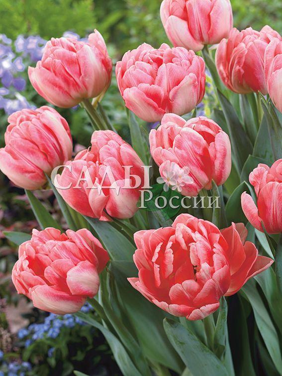 Тюльпаны ФокстротТюльпаны Махровые ранние<br>5 шт.  <br>Махровые ранние.<br>