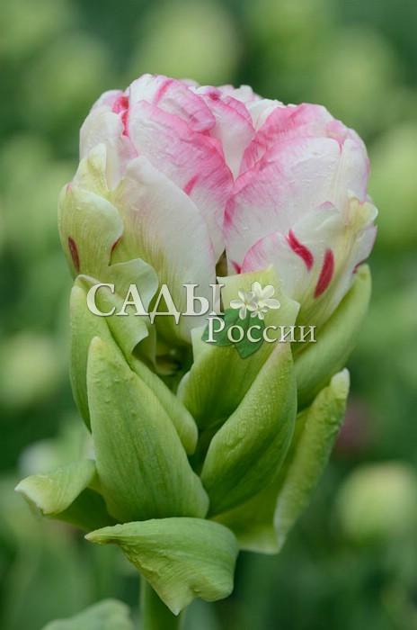 Тюльпаны Красавица ЭллаТюльпаны Махровые поздние<br>1 шт.  <br> <br>Махровые поздние.<br>