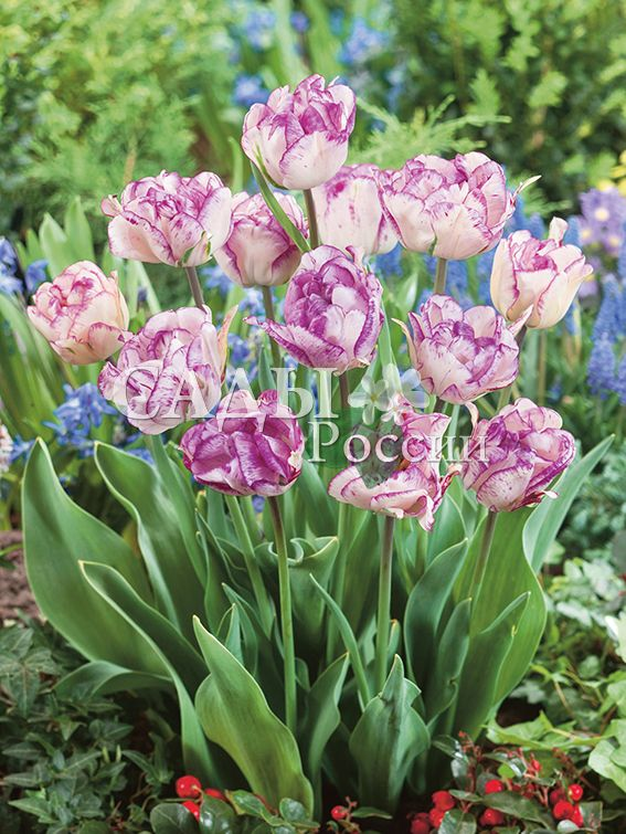 Тюльпаны НормандияТюльпаны Махровые поздние<br>5 шт.  <br> <br>Махровые поздние.<br>