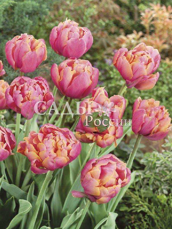Тюльпаны Розовая звездаТюльпаны Махровые поздние<br>5 шт.  <br> <br>Махровые поздние.<br>