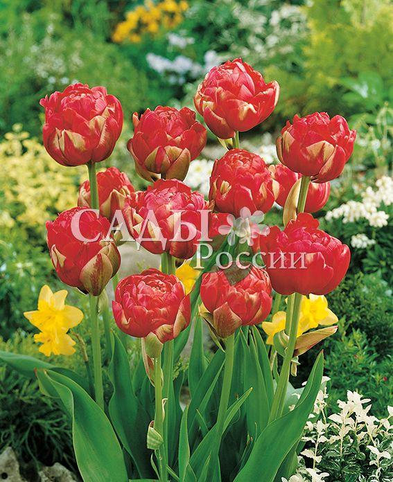 Тюльпаны УникальныйТюльпаны Махровые поздние<br>5 шт.  <br> <br>Махровые поздние.<br>