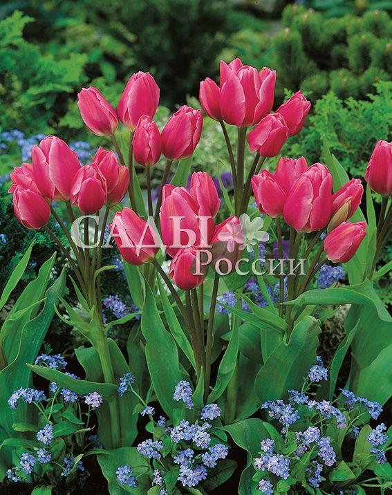 Тюльпаны Счастливая семьяТюльпаны Многоцветковые<br>5 шт.  <br> <br>Многоцветковые.<br>