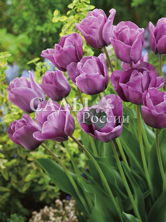 Тюльпаны ЛюбезныйТюльпаны Поздние<br>5 шт.  <br>  <br><br>Поздние.<br>