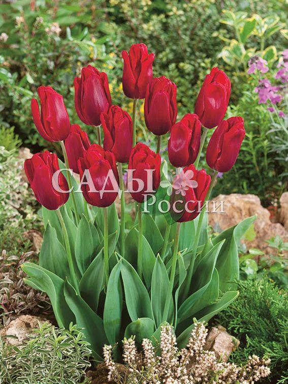 Тюльпаны Рубиновый принцТюльпаны Ранние<br>5 шт.   <br>Ранние.<br>