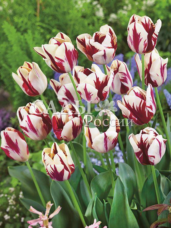 Тюльпаны Знатный вельможа