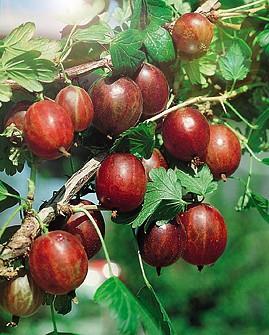 Крыжовник СенаторКрыжовник бесшипный<br>Зимостойкий.<br>Куст сильнорослый. Урожайность высокая. Невосприимчив<br>к американской мучнистой росе. Ягоды крупные массой до<br>6,5 г, красные, с нежным ароматом.<br>