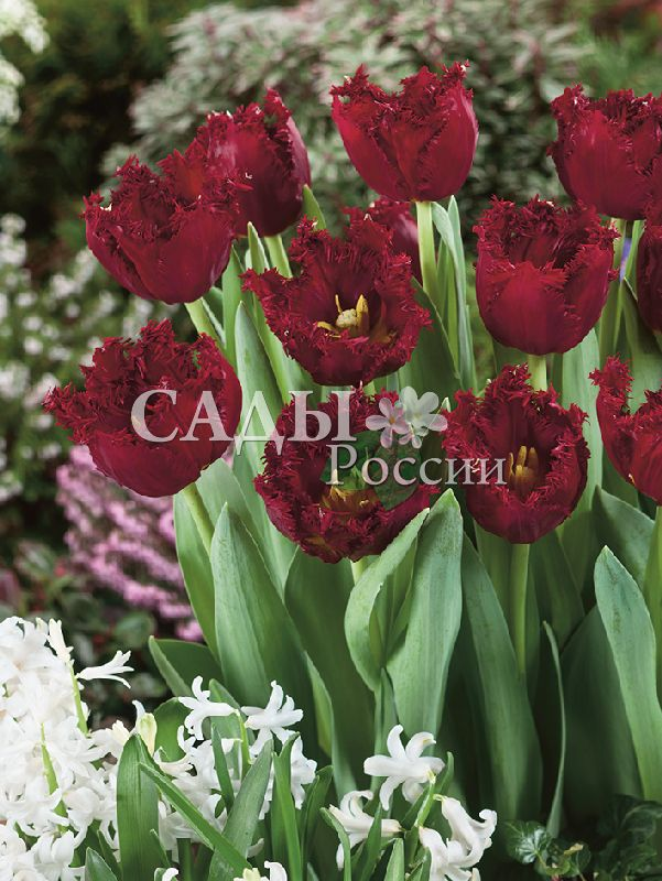 Тюльпаны ВерсачеТюльпаны Бахромчатые<br>5 шт.    Бахромчатые.<br>