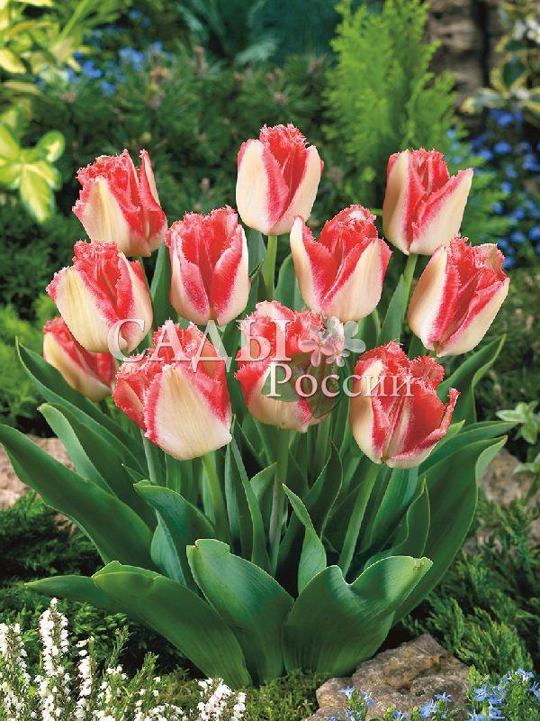 Тюльпаны Пышный балТюльпаны Бахромчатые<br>3 шт.    Бахромчатые.<br>