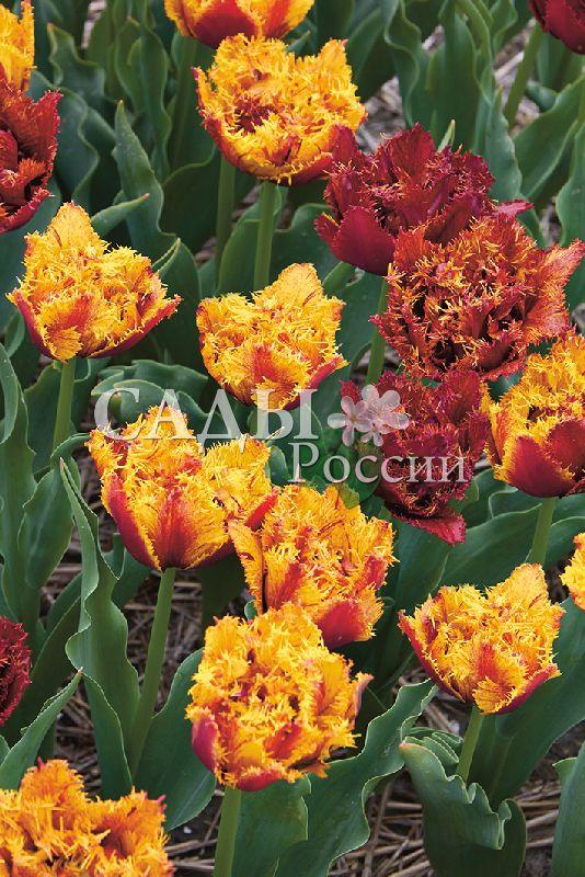 Тюльпаны БестияТюльпаны Бахромчатые<br>5 шт.    Бахромчатые.<br>